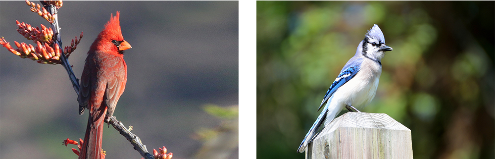 cardinal-blue-jay